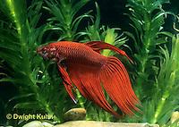 BY02-007z  Siamese Fighting Fish - male - Betta splendens