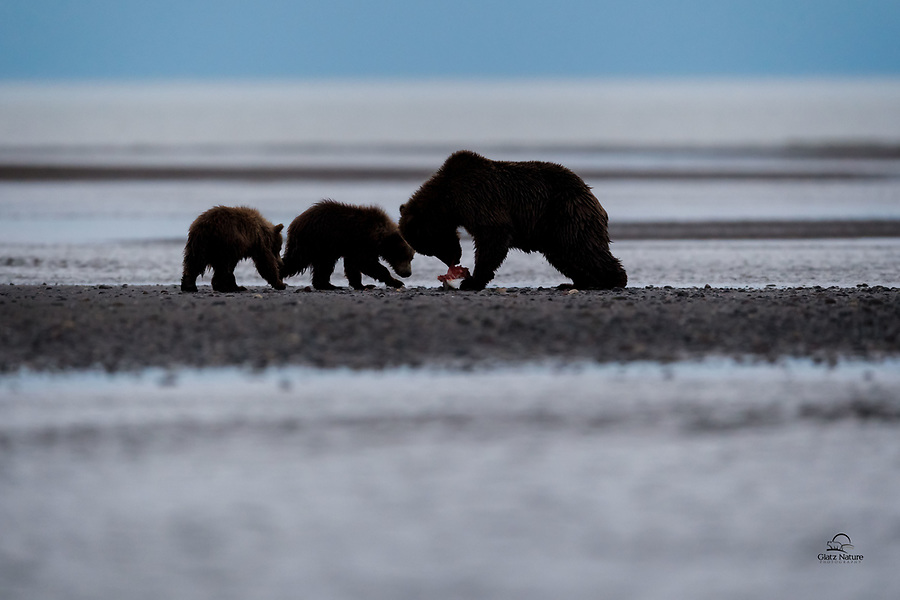 Mother Brown Bear (Ursus arctos) makes a meal out of a Silver Salmon.  In the early morning hours before the sun was even fully up.  She left some good bits for her two spring cubs.  The Cook Inlet, Lake Clark National Park, Alaska.