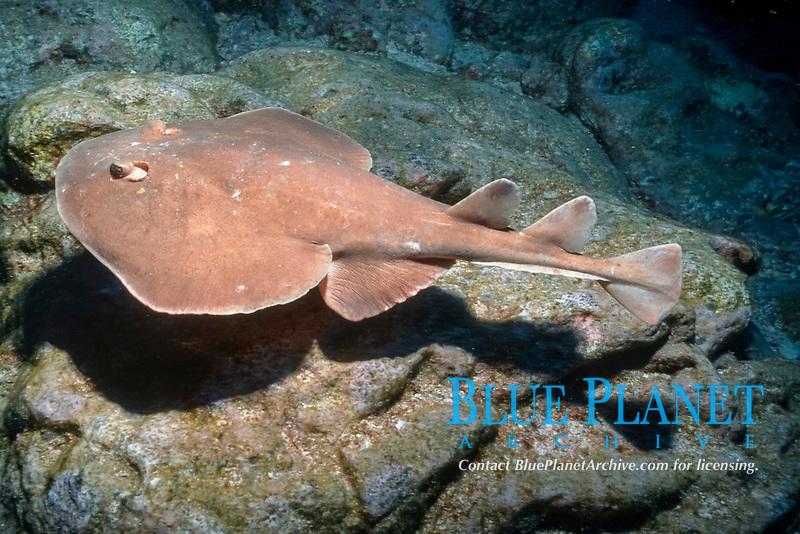 Lesser electric ray, Socorro Island ( Revilligigedos ), Narcine entemedor, Mexico, East Pacific Ocean