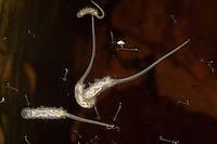 Rattenschwanzlarve, Rattenschwanz-Larve, Rattenschwanzlarven, Larve auf der Wasseroberfläche einer Regentonne, Larve von einer Schwebfliege aus dem Tribus Eristalini, Mistbiene, Mistbienen, mit langem, teleskopartig ausfahrbarem Atemrohr, rat-tailed maggots, gemeinsam mit viel kleineren Mückenlarven