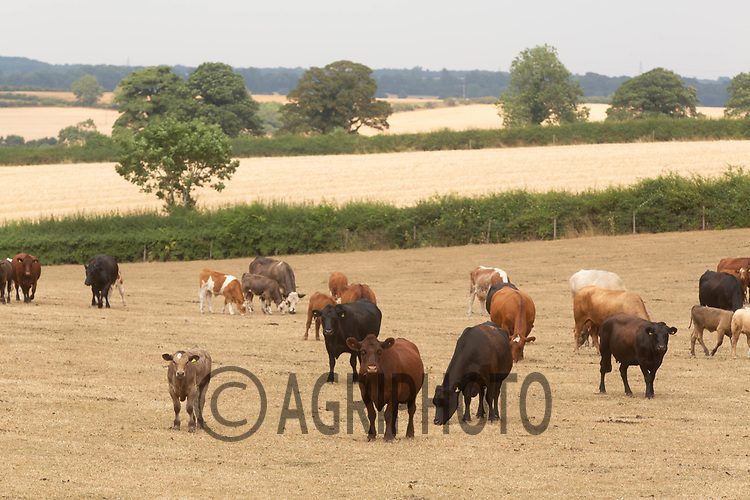 Suckler cows and followers grazing in drought stricken grassland<br /> ©Tim Scrivener Photographer 07850 303986<br />      ....Covering Agriculture In The UK....