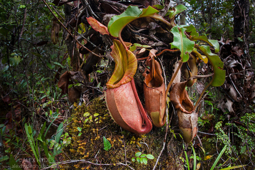 Large aerial pitchers of Veitch's Pitcher Plant (Nepenthes veitchii) growing up a tree trunk. Montane mossy heath forest or 'kerangas' on the southern plateau of Maliau Basin, Sabah's 'Lost World', Borneo. Pitcher plants are carniverous, trapping invertebrate prey in their liquid-filled pitfall traps.