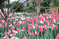 Stock photo: Small wooden bench in front of a stunning field of red tulips and white daffodil in the Atlanta botanical garden, Georgia, US.