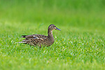 Hen Mallard walking in a summer field.