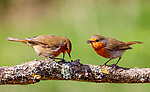 Pictured:  Sequence 4 of 9:  The male robin (right) watches on as the female places the fly on the branch.<br /> <br /> A courting ritual between two robins is cut short - after the female drops an insect the male was trying to feed her.  The female stands ready to receive the fly in her open beak but after it is dropped both glance disappointedly at the floor, and the male flies down in an attempt to retrieve it.<br /> <br /> This exchange of food is an integral part of the courtship between robins and was captured by professional photographer Ivor Ottley in Suffolk.  SEE OUR COPY FOR DETAILS.<br /> <br /> Please byline: Ivor Ottley/Solent News<br /> <br /> © Ivor Ottley/Solent News & Photo Agency<br /> UK +44 (0) 2380 458800
