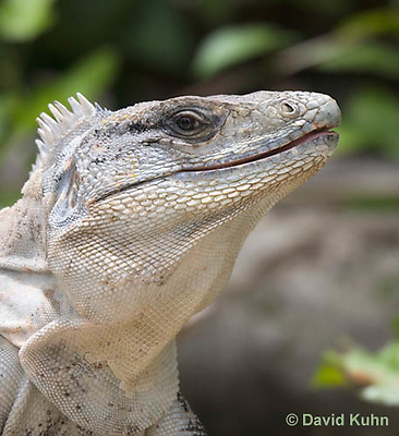 0626-1107  Close up of Head, Black Spiny-tailed Iguana (Black Iguana, Black Ctenosaur), On Half-moon Caye in Belize, Ctenosaura similis  © David Kuhn/Dwight Kuhn Photography