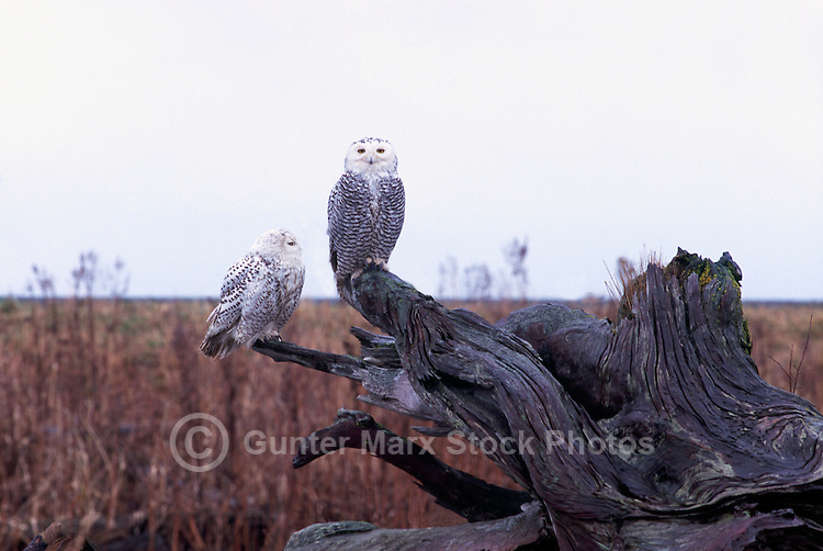 Snowy Owls (Bubo scandiacus) Female or Juvenile, sitting on Driftwood Stump at Boundary Bay Regional Park, Delta, BC, British Columbia, Canada - aka Arctic Owl, Great White Owl or Harfang.