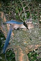 Blauelster, Altvogel am Nest mit Küken, Blau-Elster, Cyanopica cyana, Cyanopica cyanus, azure-winged magpie