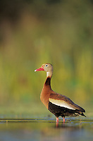 Black-bellied Whistling-Duck, Dendrocygna autumnalis,adult, Welder Wildlife Refuge, Sinton, Texas, USA, June 2005
