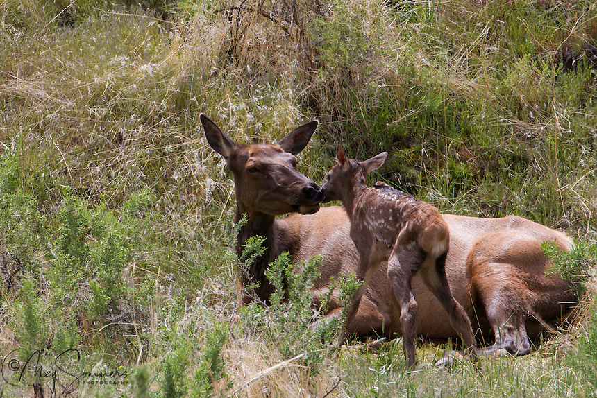 In Yellowstone, elk calves(Cervus canadensis)are born in late May, early June. This little calf was just hours old and not at all secure in its surrounding just yet.