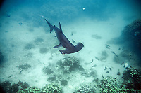 Scalloped hammerhead shark pup c at Hawaii Institute of Marine Biology, Sphyrna lewini, Kaneohe, Oahu, Hawaii N. Pacific Ocean