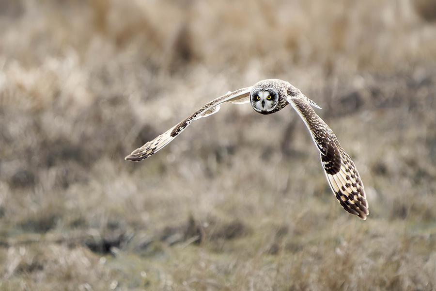 Short-eared owl (Asio flammeus) in flight hunting over marsh, Fir Island, Skagit County, Washington, USA