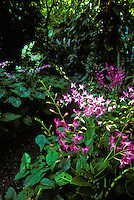 Purple orchid plant at Hawaii tropical botanical gardens