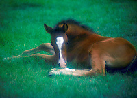 A young arabian foal lies peacefully in green grass. Shot with a diffusion filter. Horses, Equine, animals. #350 HR Foal.