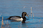 Ring-necked duck - drake