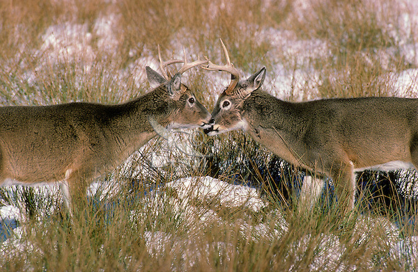 White-tailed deer (Odocoileus virginianus). Bucks dominance display..Winter. North America..