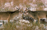 White-tailed deer (Odocoileus virginianus). Bucks dominance display..Winter. North America..