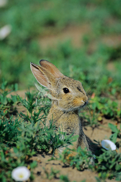 Young Eastern Cottontail Rabbit (Sylvilagus floridanus) emerging from burrow of Black-tailed Prairie dog.  See photos #Mh 307, 256.