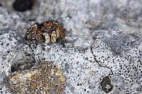 V-Fleck-Springspinne, Springspinne, Männchen, Aelurillus v-insignitus, Attus v-insignitus, Ictidops v-insignitus, Springspinnen, Salticidae, jumping spider, male, jumping spiders