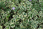 VINCA MAJOR VARIEGATA, VARIEGATED PERIWINKLE