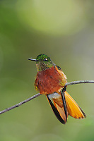 Chestnut-Breasted Coronet (Boissonneaua matthewsii), adult perched,Papallacta, Ecuador, Andes, South America