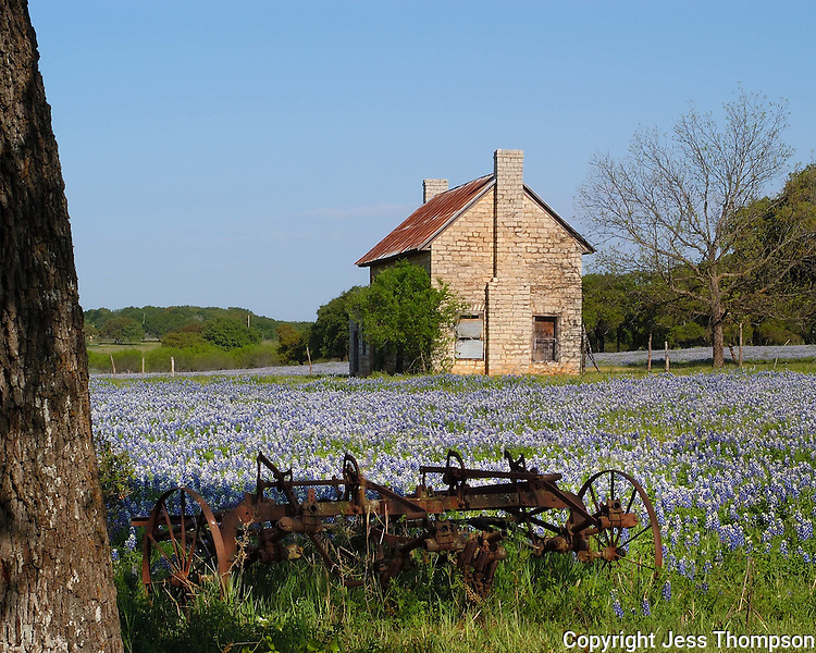 Bluebonnets, old farmhouse with farm implements near Marble Falls, Texas