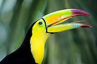 Keel-billed toucan (Ramphastos sulfuratus), Belize.
