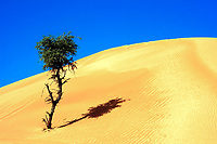 Small tree standing alone at a foot of a huge sand dune in the Arabian desert on a hot, sunny day, near Dubai, United Arab Emirates, Asia