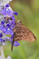 Long-tailed Skipper, Urbanus proteus, adult on Mealy sage (Salvia farinacea), Uvalde County, Hill Country, Texas, USA, April 2006