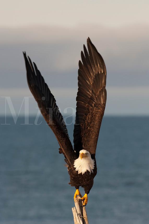 Eagle on stick taking flight