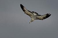 Ring-billed Gull, San Angelo Texas