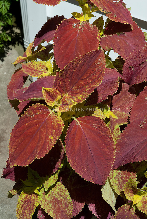 Coleus Solenostemon in pot containers