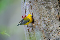 Male Prothonotary Warbler (Protonotaria citrea) at nest cavity in dead snag.  Great Lakes Region, May.
