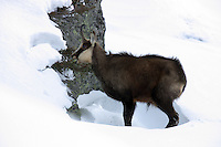 Chamois buck eating in the snow next to a rock