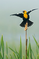 Yellow-headed Blackbird (Xanthocephalus xanthocephalus) singing spring territorial-mating song.  Klamath Marsh National Wildlife Refuge, Oregon. May.