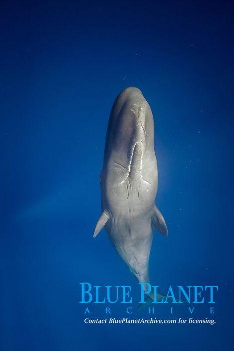 sperm whale, Physeter macrocephalus, sleeping, Dominica, Caribbean Sea, Atlantic Ocean