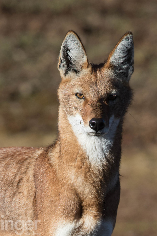 Portrait of an Ethiopian Wolf in the Bale Mountains of Ethiopia