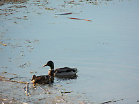 The Birds of Big Lake occupy one of the most significant waterfowl habitats in Alberta...