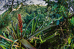 Flowering Bromeliads (Bromeliaceae) in the rainforest canopy. Napo River area, lowland Amazonian rainforest, Ecuador.