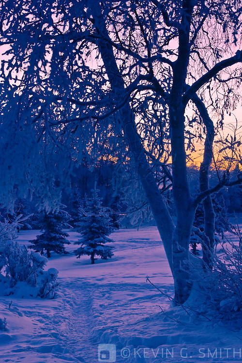 trees with hoarfrost on them and winter trail just before dawn, Earthquake park, winter, Southcentral Alaska, USA.