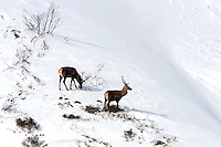 Two red deer stags standing in the snow