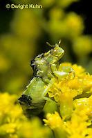 AM03-002b   Ambush Bug camouflaged on goldenrod -  Phymata americana
