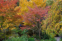 Colorful fall trees, Variegated dogwood tree, pink leaves (Cornus florida 'Cherokee Sunset') with behind yellow foliage Japanese Maple tree, (Acer palmatum 'Sangu Kaku'), on left Full Moon Maple, Japanese Maple (Acer japonicum) 'Aconitifolium', and Weeping Katsura (right) in Gay Edelson garden in Lafayette, California with autumn color