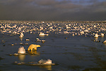 Polar Bear walks through water that is littered with snow and ice chunks.