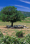 Italy, Sardinia, Nationalpark Gennargentu-Golfo di Orosei: flock of sheep in the shade of a tree