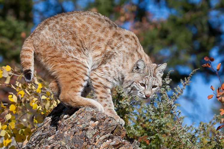 Bobcat standing on top of a rock - CA