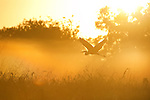 A heron flies through the morning fog in the Pantanal, Mato Grosso, Brazil.