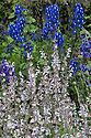 Salvia sclarea 'Turkestanica' and delphinium, mid July.