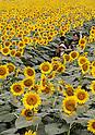 26th Sunflower Festival