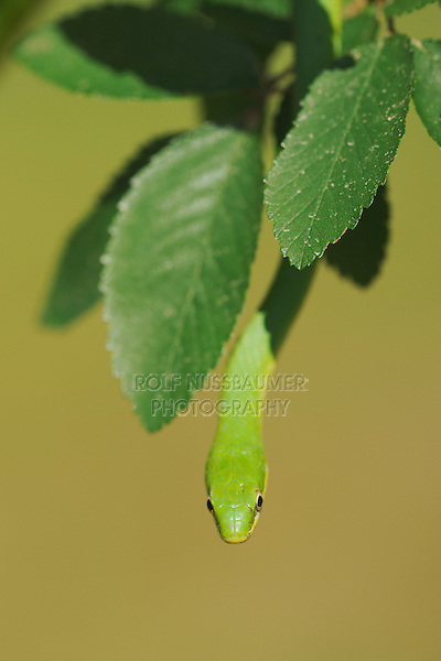 Rough Green Snake (Opheodrys aestivus), adult climbing in tree, Refugio, Coastel Bend, Texas, USA